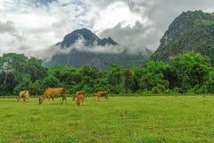 La vaca está comiendo la hierba en una granja de la vaca en el vieng del vang de Laos Foto de archivo libre de regalías