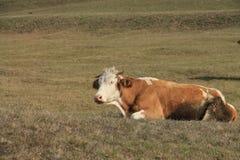 La vaca está descansando Imágenes de archivo libres de regalías