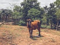 La vaca está en una granja Fotografía de archivo libre de regalías