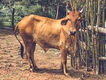 La vaca está en una granja Imagen de archivo libre de regalías