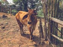 La vaca está en una granja Fotografía de archivo