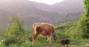 La vaca est? pastando en un prado metrajes