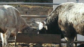 La vaca gris grande y el toro negro comen de alimentadores Ganado gris ucraniano almacen de metraje de vídeo