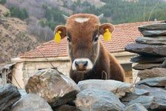 La vaca joven divertida detrás de una cerca de piedra mira la cámara Fotos de archivo libres de regalías