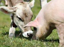 La vaca joven y el cerdo foto de archivo libre de regalías