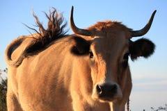 La vaca marrón clara está meneando su cola imágenes de archivo libres de regalías