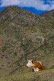 La vaca miente en un prado en un fondo de montañas, Altai, Rusia imagen de archivo libre de regalías