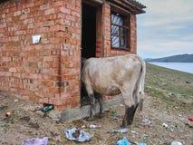 La vaca mira en una vertiente del ladrillo Imagen de archivo