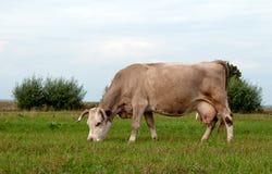 La vaca pasta Imagenes de archivo