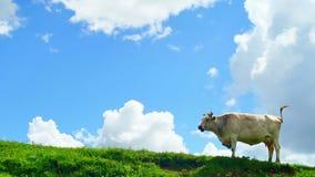 La vaca que pasta en el top de la colina verde en montañas en fondo del verano hermoso se nubla