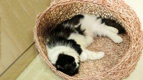 (La vaca tiene gusto) Cat Sleeping blanca y negra bicolor mullida linda en la jerarquía imagenes de archivo