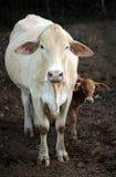 La vaca y el becerro están mirando fijamente Imagen de archivo libre de regalías