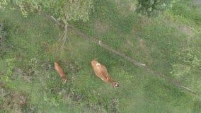 La vaca y el becerro pastan cerca de la cerca metrajes