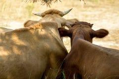 La vaca y su becerro tienen un resto fotos de archivo