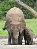 """La vache à éléphant de ² du 'Ð du """"Ñ du veau Ñ d'éléphant Forest Elephant africain, cyclotis d'africana de Loxodonta Au sali de D Image stock"""