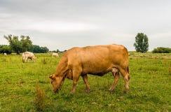 La vache à Brown frôle dans les zones inondables de la rivière néerlandaise Images stock