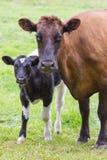 La vache à Brown se tient ainsi que le veau noir et blanc Photo libre de droits
