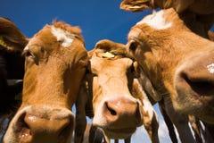 La vache à Guernesey Image libre de droits