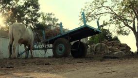 La vache éditant, vache mangeant le foin à côté d'une meule de foin dans un complot de terres cultivables banque de vidéos