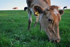 La vache Photographie stock