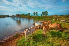 La vache Photos stock