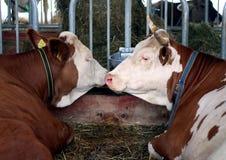 La vache Photo libre de droits