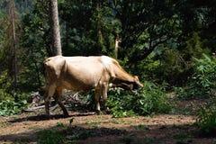 La vache a abaissé sa tête dans l'herbe grande photo libre de droits