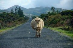 La vache avec des klaxons recherche la confrontation image stock