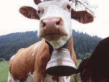 La vache avec l'automne fleurit pour retourner aux terres en contre-bas, Murren, Suisse Photo stock