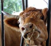 La vache avec les yeux fous mange la paille et le foin dans la grange Photo stock