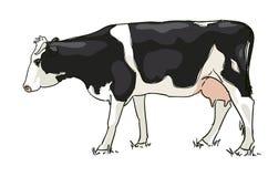 La vache blanche et noire est frôlée Photo libre de droits
