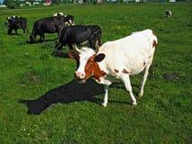 La vache blanche gaie sourit dans le pré vert image libre de droits