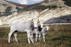 La vache blanche a multiplié pâturage d'Italien et de deux le petit veaux Image libre de droits