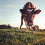 La vache curieuse Photographie stock libre de droits
