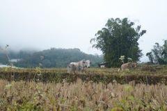La vache dans des terrasses de riz mettent en place en Mae Klang Luang, Chiang Mai, Thaïlande Image libre de droits