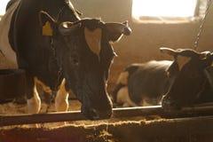 La vache dans la stalle Image libre de droits