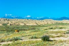 La vache dans le pâturage, Kirghizistan Photographie stock libre de droits