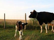 La vache et le bébé du Holstein tiennent la barrière proche dans le pré tôt le matin image libre de droits