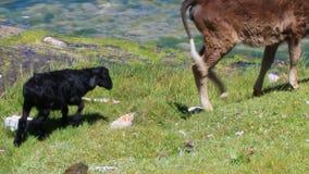 La vache et les moutons mangent clips vidéos