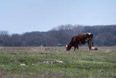 La vache frôle et une forêt Photo libre de droits