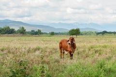 La vache frôle dans le domaine Photos libres de droits