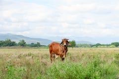 La vache frôle dans le domaine Images libres de droits