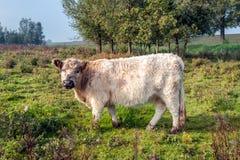 La vache laineuse à Galloway regarde curieusement le photographe tôt le matin d'un jour automnal photo stock