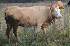 La vache mange dans le domaine d'herbe Photos libres de droits