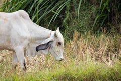 La vache mange l'herbe Image stock