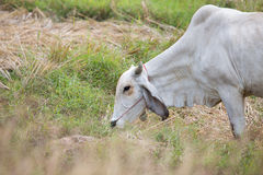 La vache mange l'herbe Photo libre de droits