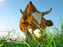 La vache mange l'herbe. Photos libres de droits