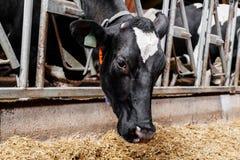 La vache mange le foin Image stock