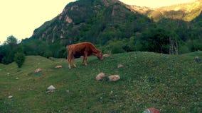 La vache mange une herbe banque de vidéos