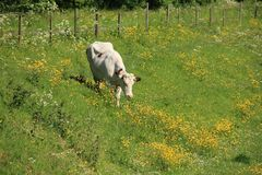 La vache marche dans un domaine avec les renoncules et le persil de vache de floraison au printemps Image stock